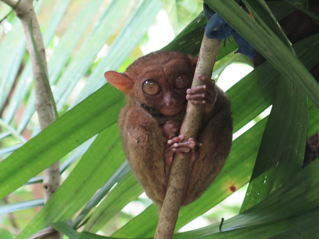 bohol tarsiers spookdiertje panglo filipijnen